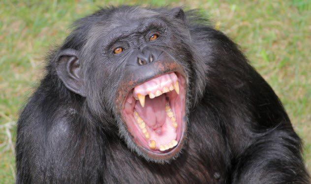 Angrychimp