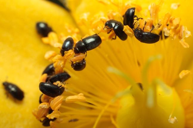 pollen-beetles